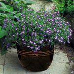 Lobelia  Taknemmelig sommerblomst i blå, rosa og hvide nuancer. God sammen med andre sommerblomster som kontrastplante. Blomstrer fra maj til oktober. Placeres lyst-skygge og vandes og gødes jævnligt. Velegent i altankasser, krukker, ampler og som bunddække eller kantplante i haven.