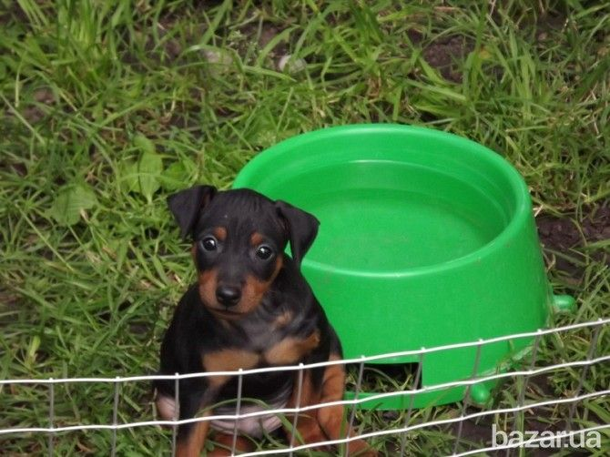 Продам щеночков Цвергпинчера - Собаки Киев на Bazar.ua