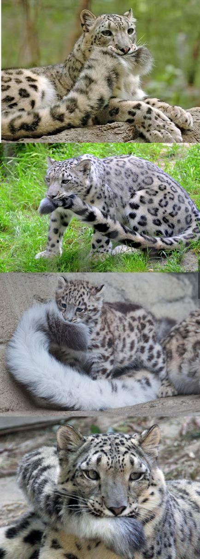 Leopardos, no guepardos.