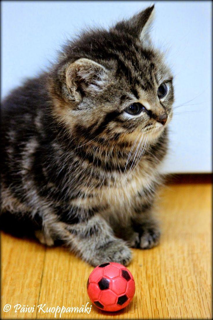 Meidän Vappu niminen kissanpentu, jonka emo oli hylännyt n. neliviikkoisena.