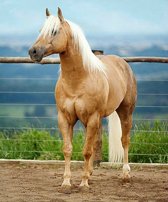 Palomino American quarter horse. photo: Anderson Sant'Ana.
