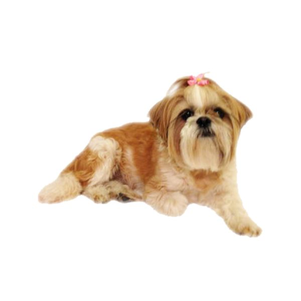 """Lulu Shih Tzu Dog - This Shih Tzu has long golden and white fur with a pretty pink bow on the top of her head. Lulu is a friendly dog that lives in Florida with her human family and fellow dog Lyric. Like most Shih Tzus, Lulu can be stubborn at times, but is usually quiet friendly. Her name, Lulu, means """"Lion Dog"""" in Chinese, this was chosen because China is where this dog breed originated. - Found at myWebRoom.com"""