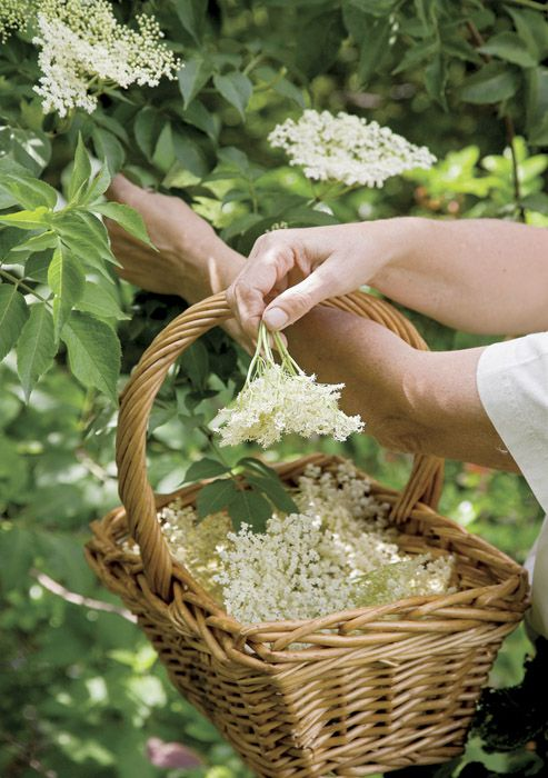 Earth Witch: #Earth #Witch ~ Harvesting Elder blossoms.