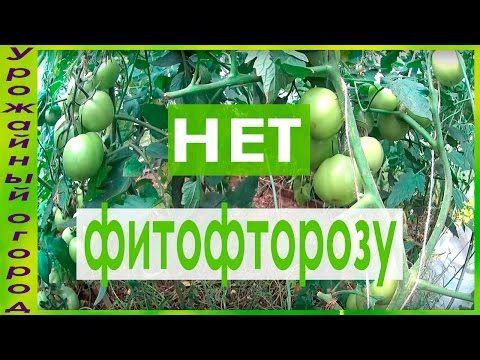 СУПЕР ЭФФЕКТИВНОЕ СРЕДСТВО ОТ ФИТОФТОРОЗА!!! - YouTube