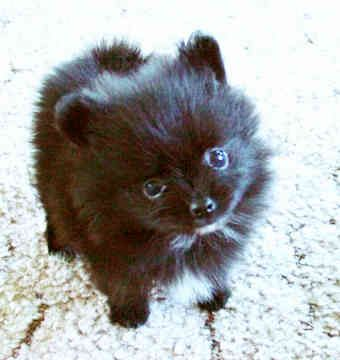Fluffy little ball of cuteness! I'd like her topped with a bow and stuck under my christmas tree please Santa. :)