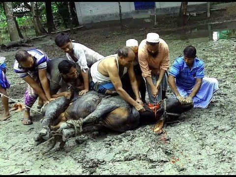 Eid Ul Adha Cow Qurbani 2016 || Bull Qurbani 2016