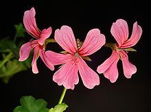 Pelargonium Peltatum.the common names ivy-leaf geranium and cascading geranium. It is native to southern Africa, particularly South Africa. It is commonly grown as an ornamental plant. This is a subshrub which can reach two meters in height, its branches prostrate, spreading, trailing, or climbing. The thin, somewhat succulent leaves are peltate, their petioles attached at the middle of the ivy-shaped leaf blades.