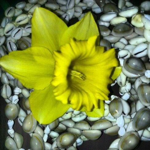 #CookIslands Shells ♥ & a Daffodil ♥