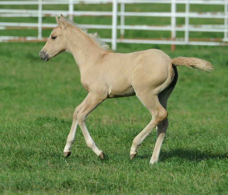 palomino foal - photo #11