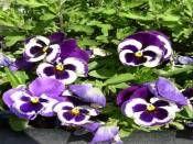 Hercai Menekşe / Beta http://www.fidanistanbul.com/urun/2742_hercai-menekse--beta.html Fidan Satışı, Fide Satışı, internetten Fidan Siparişi, Bodur Aşılı Sertifikalı Meyve Fidanı Süs Bitkileri,Ağaç,Bitki,Çiçek,Çalı,Fide,tohum,toprak