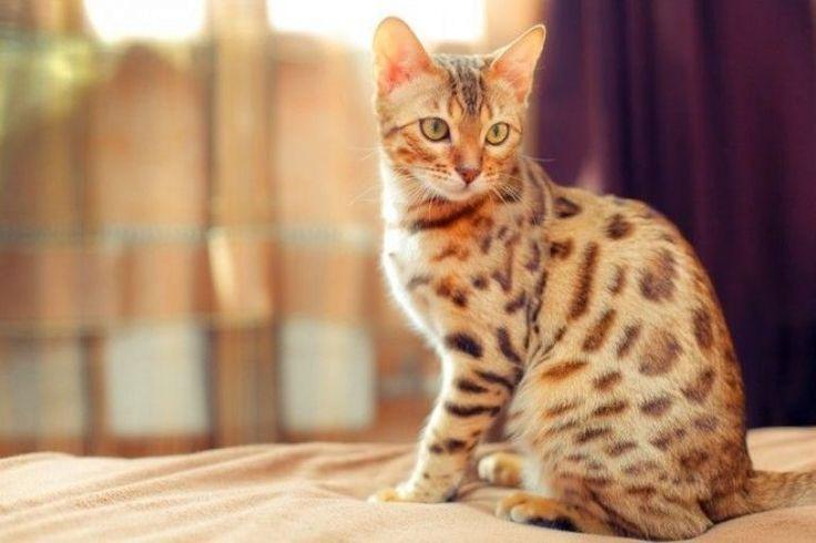 Бенгальская кошка неприхотлива в уходе, купать ее нужно редко, а ее шерсть практически не имеет запаха, что позволяет держать питомца в квартире