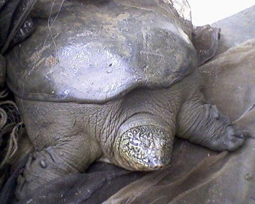 Yangtze soft shell turtle: 2 males known to exist in the wild.  1 male and 1 female in captivity.