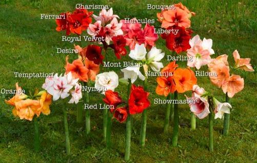 Amaryllis varieties blooms pinterest for Amarilis decoration