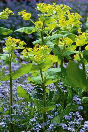 Smyrnium perfoliatum growing with forget-me-not    Self-seeds. Lime-green foliage.