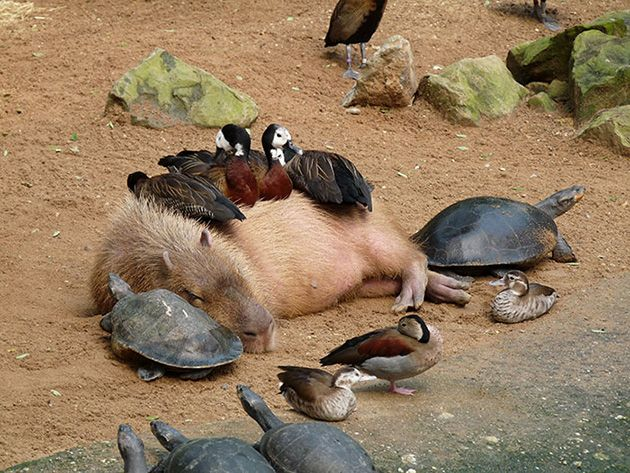 Capybara is too tired to care about ducks and turtles using him for a chair.