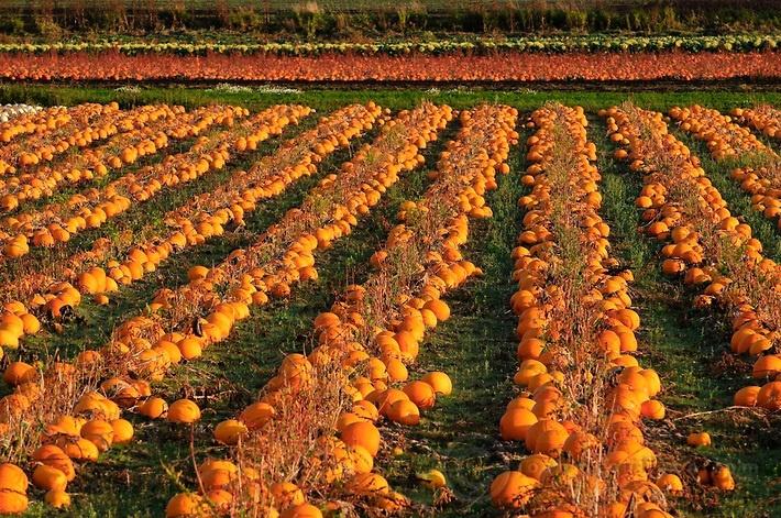 Pumpkins fields in Central Saanich, near Victoria BC, Canada. Josh McCulloch