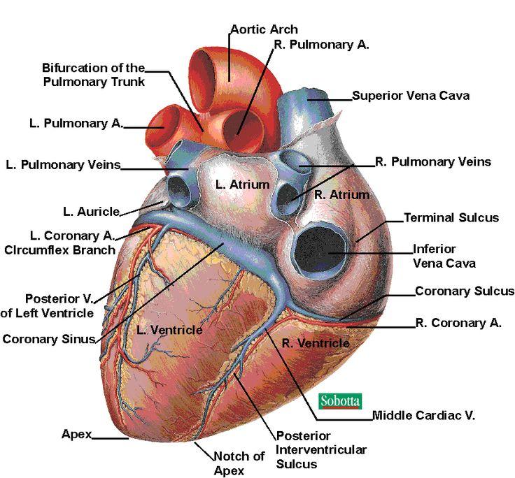 17 best ideas about human heart diagram on pinterest | heart, Muscles