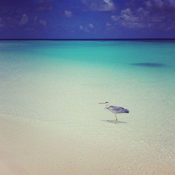 Vi kallar honom för Sune, han strosar alldeles själv fram och tillbaka på stranden här på #constance #halaveli #jordenruntmedving #ving #vingresor Läs mer om Maldiverna på http://www.ving.se/maldiverna/maldiverna
