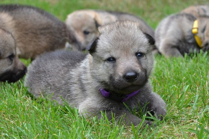 czechoslovakian wolfdog puppies from our kennel