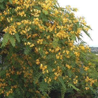 Tipu tree | Tipuana tipu