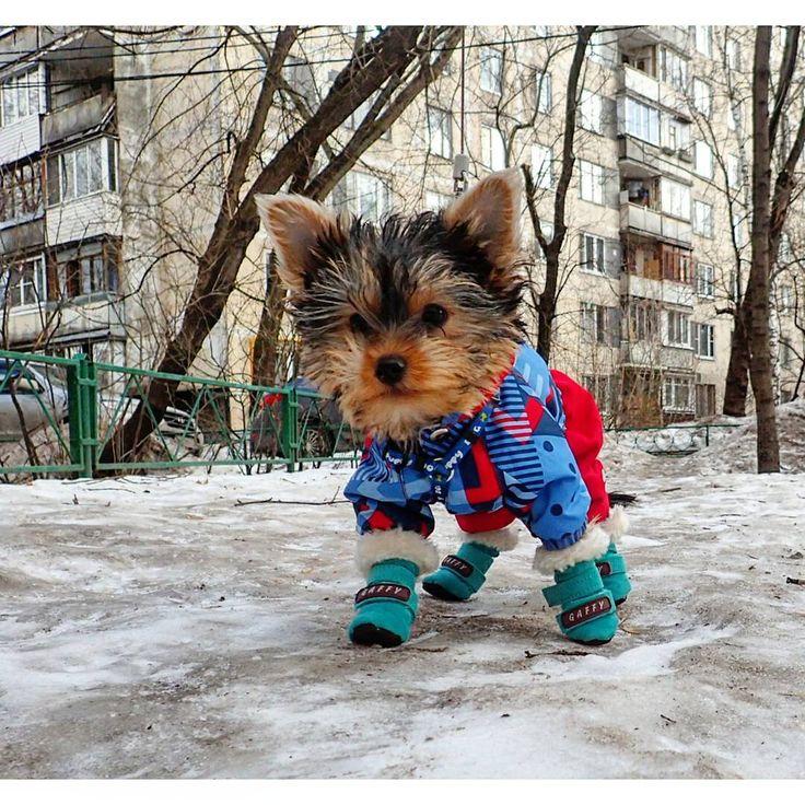#yorkshireterrier #york #puppy #йоркширскийтерьер #йорик #членсемьи #щенок #pussy