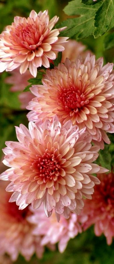 Chrysanthemum | Chrysanthemums are great plants to choose for Autumn, flowering in the garden in late summer and autumn.