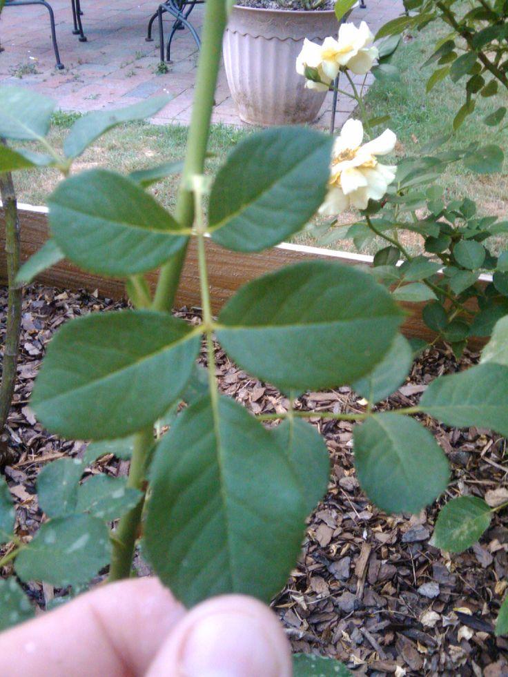 Deadheading - Repeat Blooming Roses