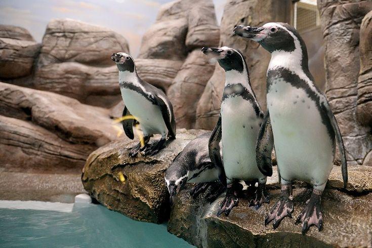 В последние годы пингвины стали так часто мелькать с телеэкранов, что желание заработать на всеобщей любви к этим забавным существам стало посещать все больше предпринимателей. О том, что же такое «пингвинарий», и что именно понимается под этим словом, — читайте в нашем материале.