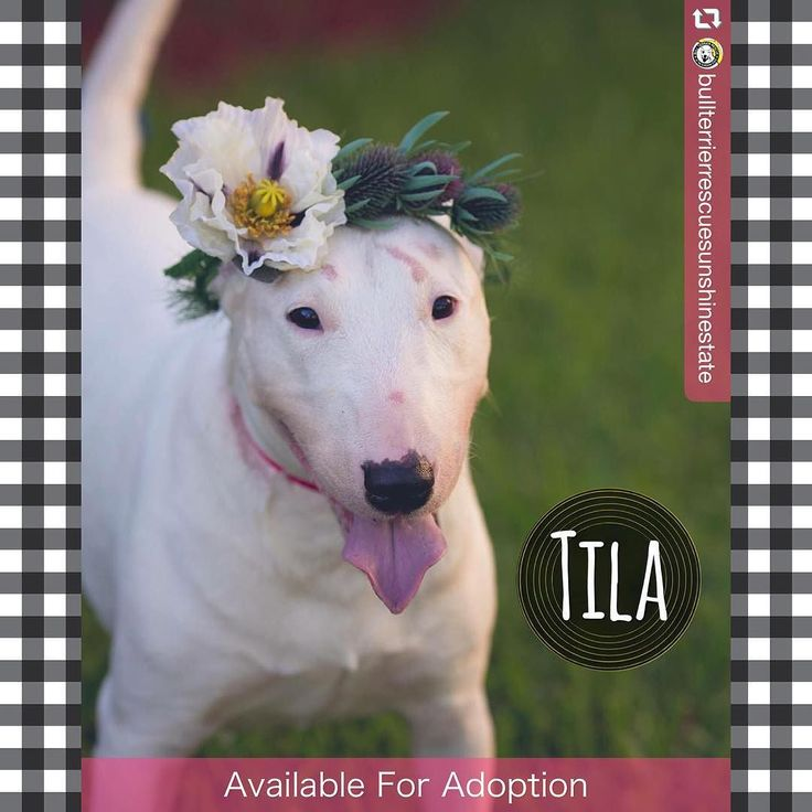 "#repost @bullterrierrescuesunshinestate :   Good morning rise and shine!!!! Tila says ""I'd rather wear flowers in my hair than diamonds around my neck ""    This beautiful girl is still available for adoption and would make a wonderful snuggle buddy!!! Apply for her online now:  http://ift.tt/1Uktrr2     Special thanks to @topangaphoto for the beautiful photo!  More from her photo shoot to come...    #englishbullterrier #bullterrier #bullterrierinstagram #ebt #bt #bullterrierlove #rescuedog…"