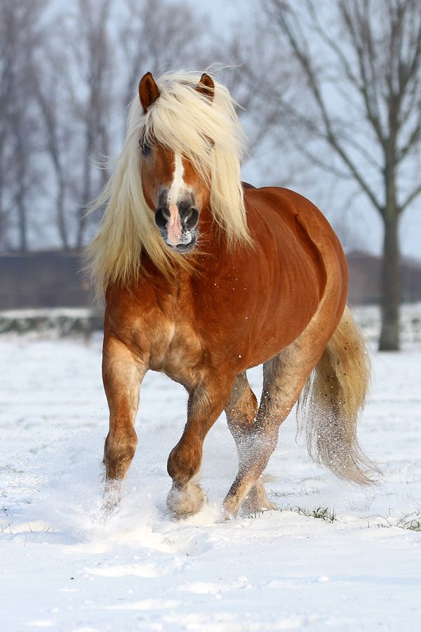 Haflinger in the Snow