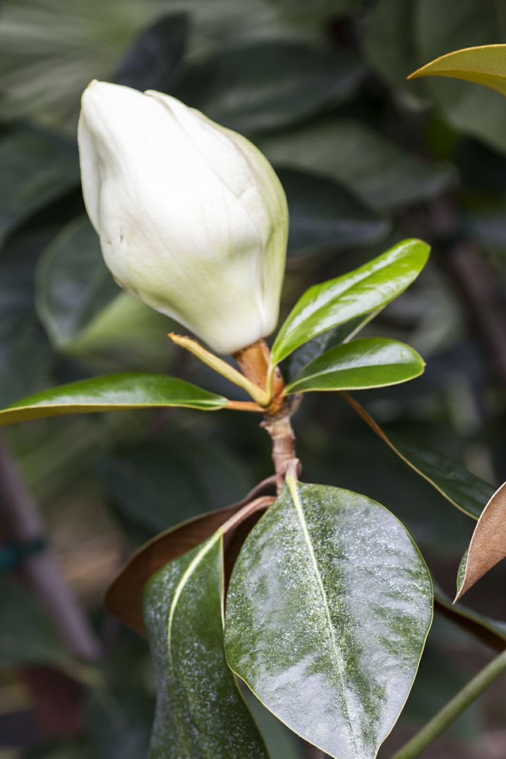 Southern Magnolia The velvety underside to these glossy leaves is amazing. Even more amazing is when the large blossoms open to reveal a heavily fragrant flower.