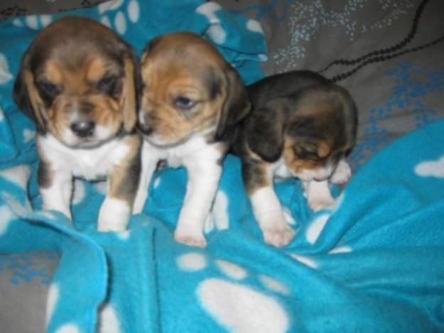 Beagle Puppies For Sale Perth Beagle Puppy Puppies For Sale