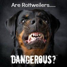 Rottweiler Behavior - The Real Rottweiler Temperament