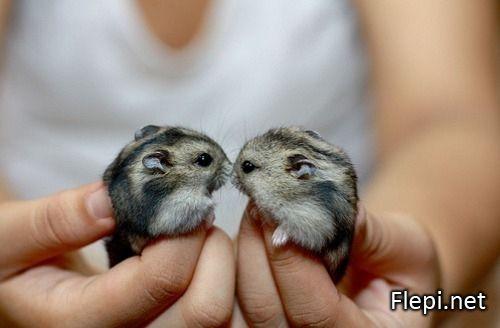 Image de deux bébé hamster (ou chinchilla ?) adorables !