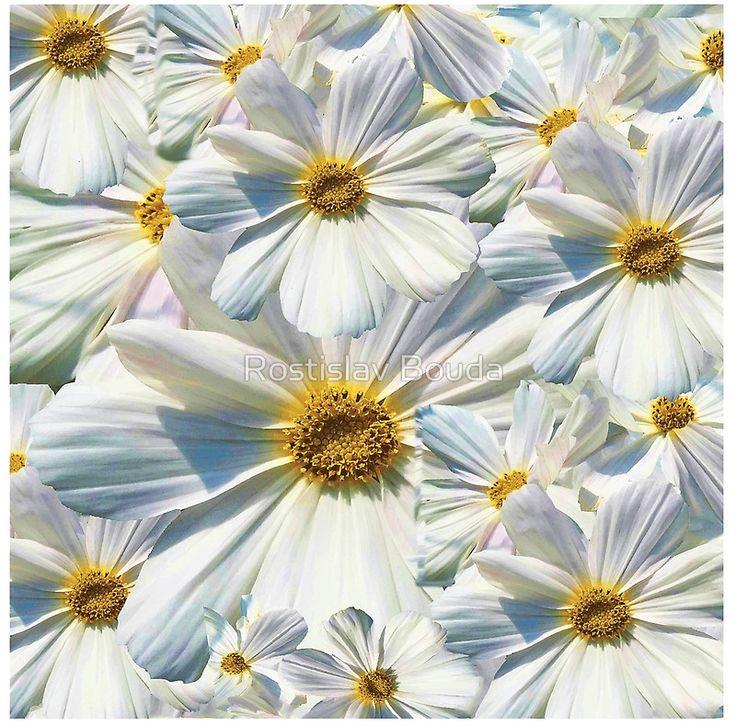marguerites, daisy