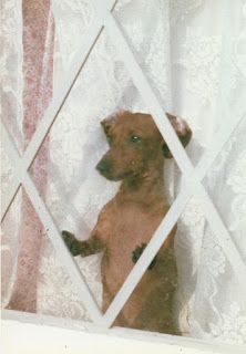 Punkin the dachshund, looking out a window