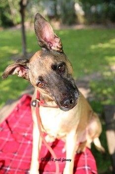 Stray Belgian Malinois mix had a microchip, but his owner did not come for him