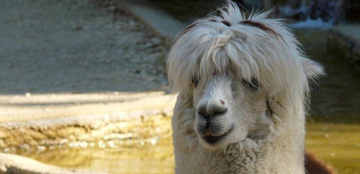 Guérir le VIH grâce aux lamas et aux alpagas?