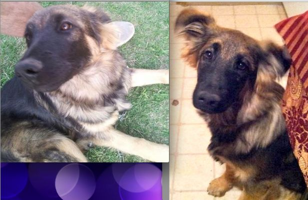 """Posted by Darcy Erick on Sunday, June 23rd/2013: - LOST - """"Lost 8 month old Female German Shepherd Cross, 'ZADA'. She has a Brown collar with Blue tags. She left the yard around 9pm on Saturday, June22nd on 7-8th Avenue and 12C Street North. She is very friendly. Phone: 403-327-7086."""" https://www.facebook.com/LethbridgeAndAreaLostAndFoundPets/posts/619593628059376"""