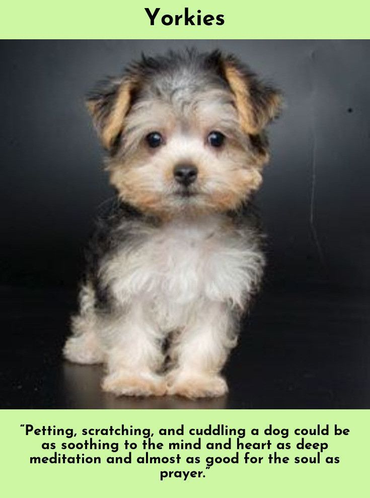 Read About Yorkshire Terriers Simply Click Here To Read More