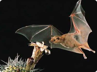 bat mammal photos | Bat Mammal The Flying Mammals