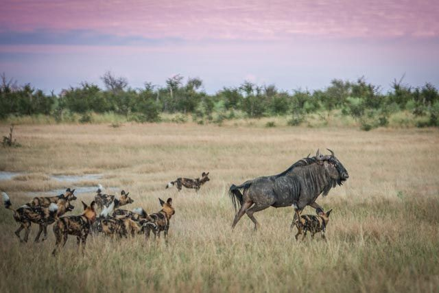 Pack of wild dogs playing with a wildebeest bull at Chitabe Camp, Botswana