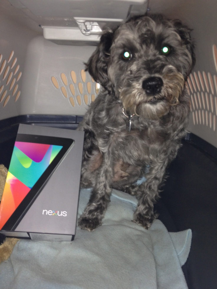 """Monty - """"the unofficial ASD Inc. mascot""""  Posing with Nexus7 that we bought to test and compare against the new iPad."""