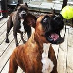 See this Instagram video by @boxer_and_the_bandogge • 14 likes