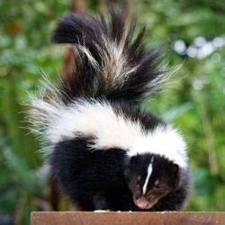 skunk, beehives