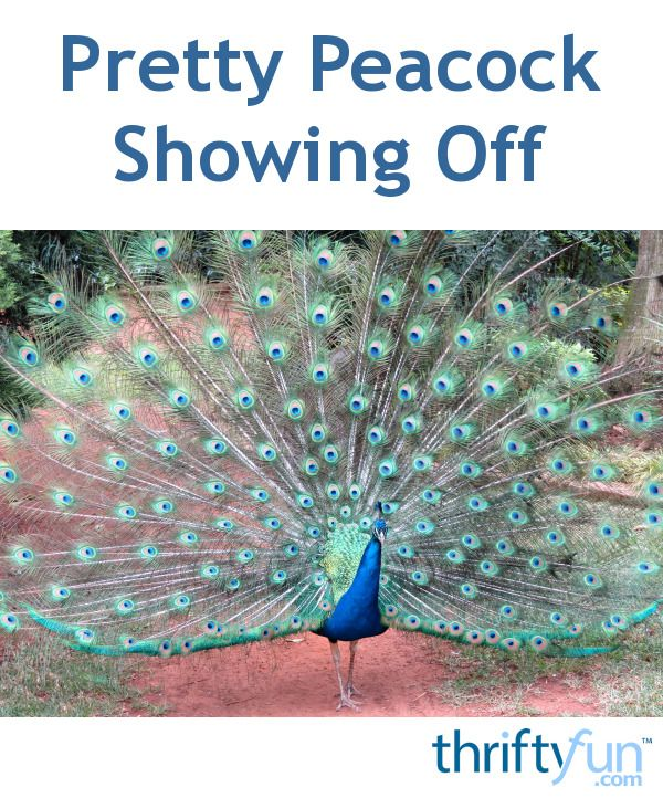This peacock put up a great display of elegance and color.