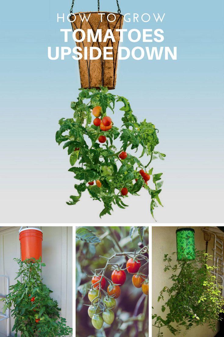 tomato upside down