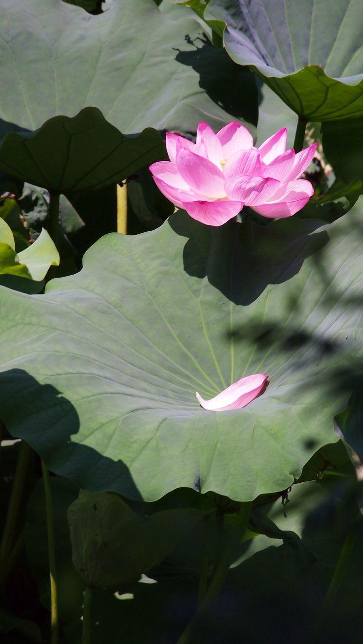 lotus Shinobazu pomd in Ueno