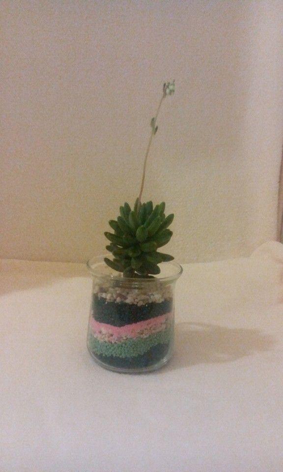 Planta suculenta ,viu colorata