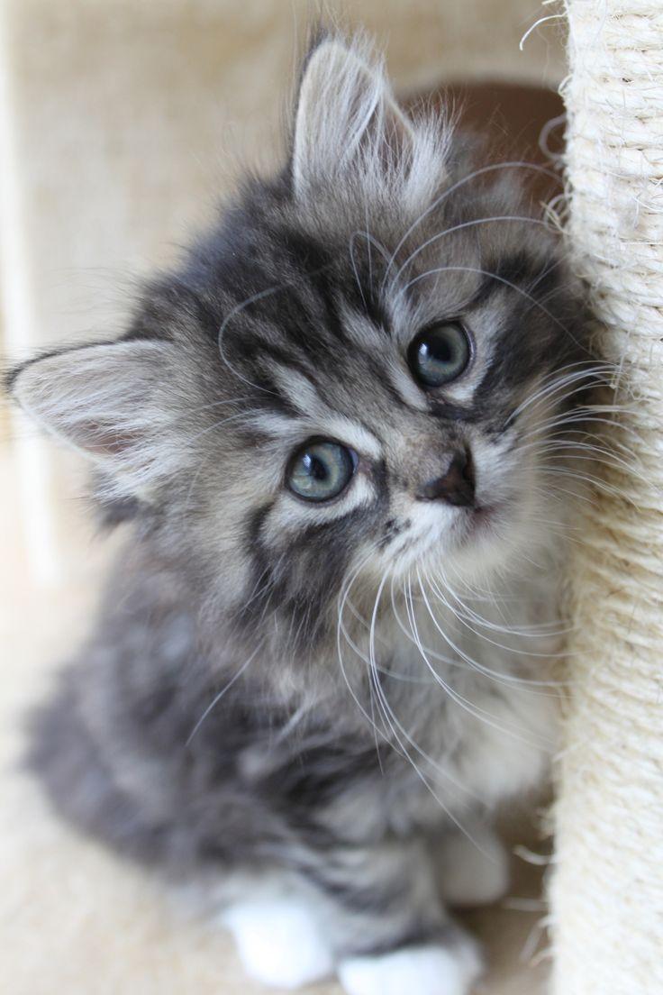 All sizes   Siberian Kittens   Flickr - Photo Sharing!